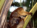 Black Lemurs (Eulemur macaco) female with young ... (44568192044).jpg