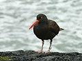 Black Oystercatcher - IMGP1549.jpg