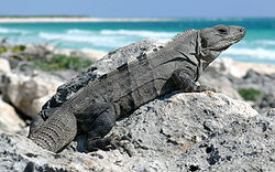 Black Spiny-tailed Iguana-27527.jpg