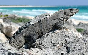 Description de l'image Black Spiny-tailed Iguana-27527.jpg.