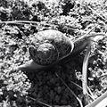 Black and white snail.jpg