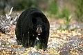 Black bear (19647086074).jpg