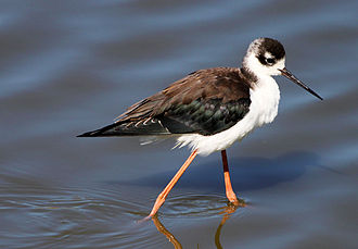 San Joaquin Wildlife Sanctuary - A black-necked stilt at the SJWS