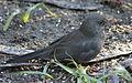 Blackbird in Madrid (Spain) 23.jpg