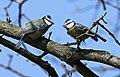 Blaumeise (Cyanistes caeruleus) im Grünfelder Park in Waldenburg. 2H1A3575WI.jpg