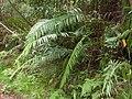Blechnum orientale hiryuusd01.jpg