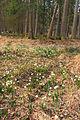 Bledule jarní v PR Králova zahrada 20.jpg