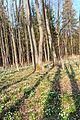 Bledule jarní v PR Králova zahrada 40.jpg