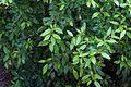Blossom 5455 Leaves.jpg