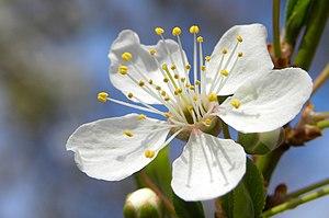 Mirabelle plum (Prunus x domestica var. syriac...