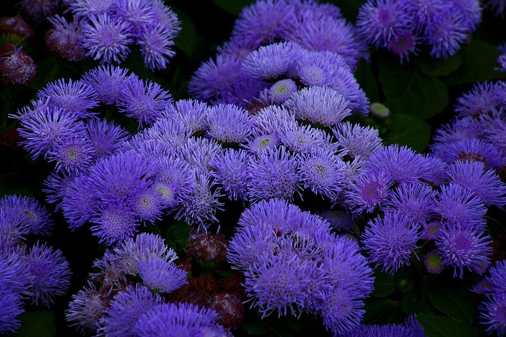 File:Blue-anemone-flower - Virginia - ForestWander.jpg ...