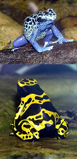 Mavi zehirli ok kurbağası (üstte) ve Sarı şeritli zehirli ok kurbağası (altta).