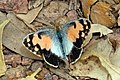 Blue-spotted arab (Colotis phisadia).jpg