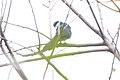 Blue & White Mockingbird (Melanotis hypoleucus) (5783234141).jpg