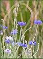 Blue Cornflowers (210849713).jpeg