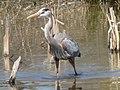 Blue Heron (3450212877).jpg