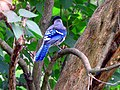 Blue Jay In The Trees (166879159).jpeg