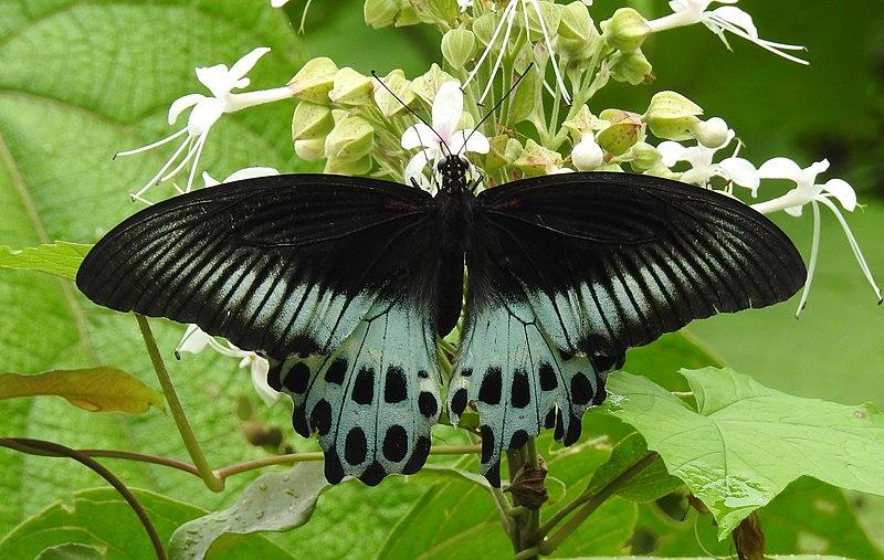 File:Blue Mormon Papilio polymnestor by Dr. Raju Kasambe DSCN0783 (14).jpg
