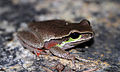 Blue Mountains Tree Frog (Litoria citropa) (8398128404).jpg