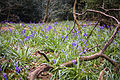 Bluebells, Nuffield Place (6938021912).jpg