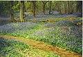 Bluebells at Winkworth Arboretum. - geograph.org.uk - 136566.jpg