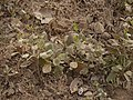 Blumea eriantha (8482275110).jpg
