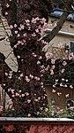 Bodnant Schneeball im Valentingarten 02.jpg