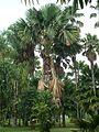 Bogor Botanical Gardens Java25.jpg