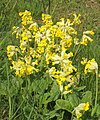 Bold group of cowslips - geograph.org.uk - 789839.jpg