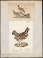Bonasa betulina - 1700-1880 - Print - Iconographia Zoologica - Special Collections University of Amsterdam - UBA01 IZ17100379.tif