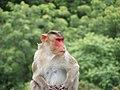 Bonnet Macaques Macaca radiata Kanheri SGNP Mumbai by Raju Kasambe DSCF0056 (1) 20.jpg