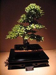 Bonsai IMG 6427.jpg