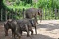 Borneo Pygmy Elephants (11932270444).jpg