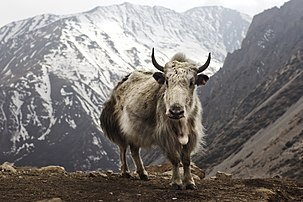 Un yack (Bos grunniens) à Letdar, dans la chaîne de montagnes de l'Annapurna, dans la région centrale du Népal. (définition réelle 5184×3456)