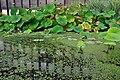 Botanischer Garten der Universität Zürich - Nelumbo nucifera 2010-08-24 18-03-14.JPG