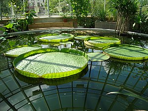 University of Uppsala Botanical Garden - Waterlilies Victoria spp. in tropical greenhouse of Botaniska trädgården