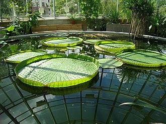 University of Uppsala Botanical Garden - Waterlilies Victoria spp. in tropical greenhouse of Botaniska trädgården