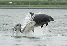 Photo of one large and two small dolphins breaching together