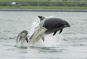 Bottlenose dolphin with young.JPG