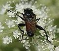 Brachypalpoides.lentus2.jpg