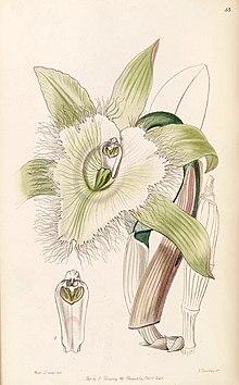 Rhyncholaelia Digbyana Wikipedia La Enciclopedia Libre