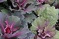 Brassica Osaka Red 1zz.jpg