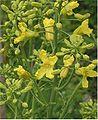Brassica oleracea Boerenkool bloei (1).jpg
