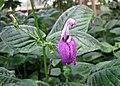 Brillantaisia leonensis -比利時 Ghent University Botanical Garden, Belgium- (9198103857).jpg