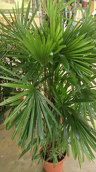 Broadleaf Lady Palm. Credit: Wikimedia Commons