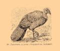 Brockhaus and Efron Encyclopedic Dictionary b33 074-0- 18 - Megapodius lathami.png