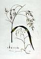 Bromus giganteus — Flora Batava — Volume v2.jpg