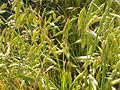 Bromus japonicus (3815222828).jpg