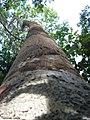 Brosimum guianense, quiri - Flickr - Tarciso Leão (2).jpg