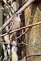 Brown-breasted Flycatcher (Muscicapa muttui) മുത്തുപിള്ള. (32990413746).jpg